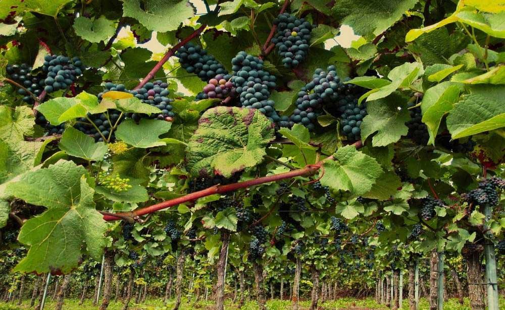 Des drones pour surveiller les vignes